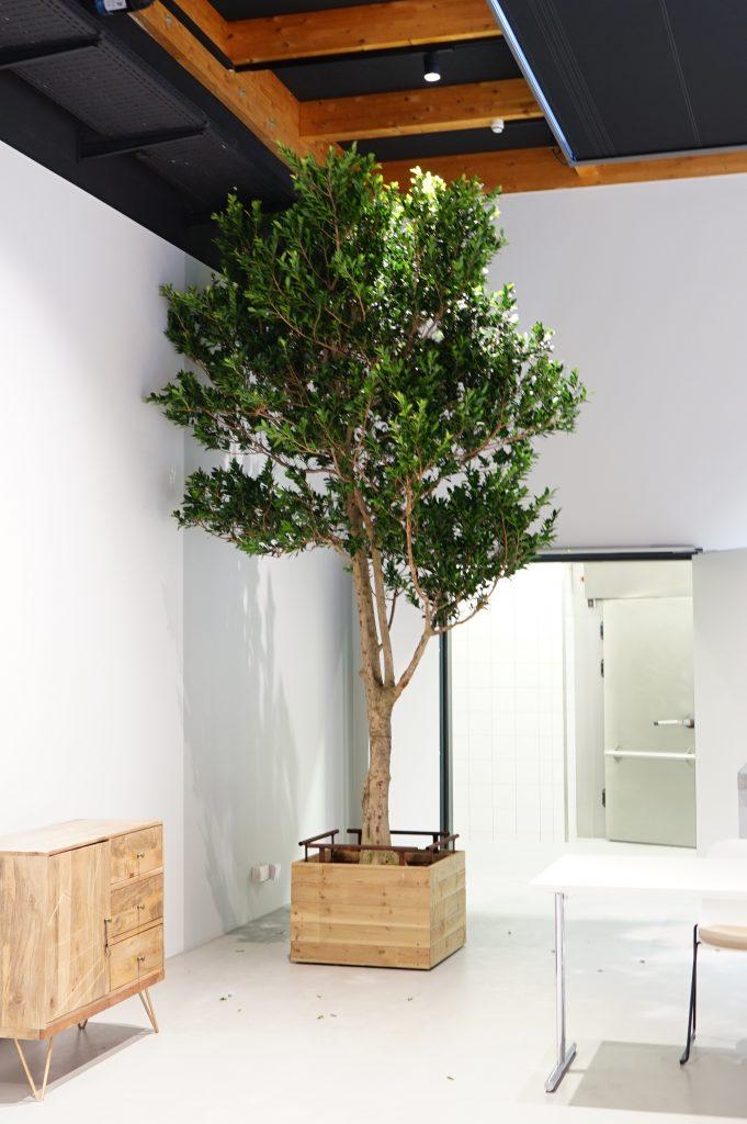 Ficus Hochstamm