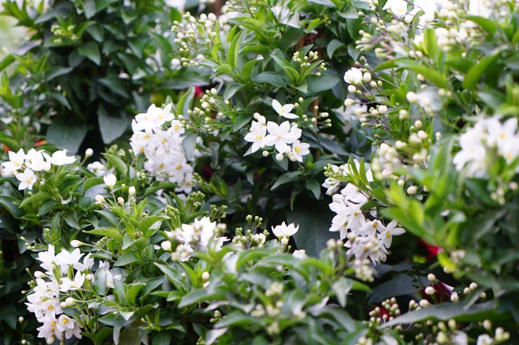 Solanum weiß